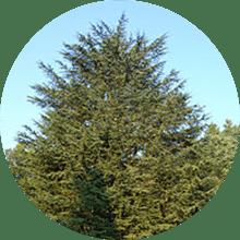 アトラスシーダ樹皮油